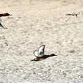 写真: ホシハジロとメジロガモの飛翔
