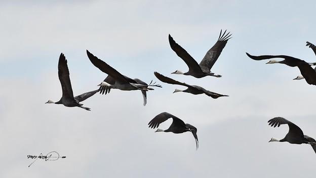 写真: ナベヅル飛翔