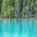 Photos: 青い池