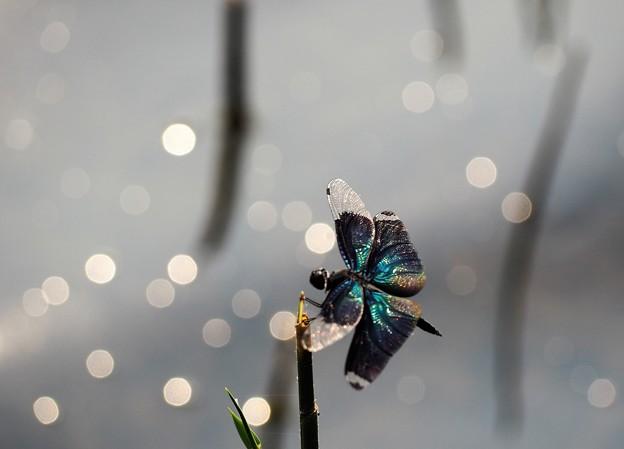 Photos: 蝶の如く