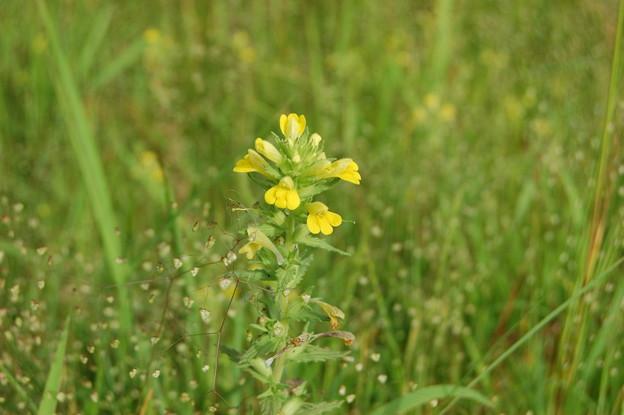 縦に伸びてる黄色い花