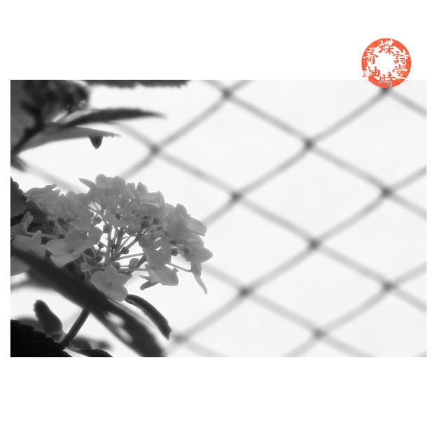 紫陽花とフェンス1